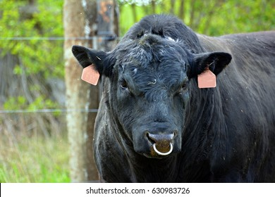 Royalty Free Farm Bull Cow Bull Nose Ring Outdoor Rural Stock Images