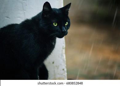 Black big cat with green eyes. Stray animals. Under rain