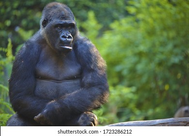 A black big gorilla sitting with blurred background
