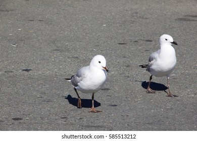 Black billed gull on the beach in New Zealand