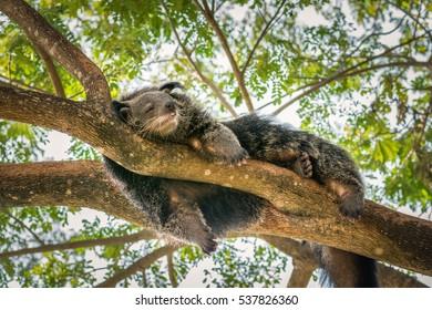 A black binturong sleep on the branch of tree.