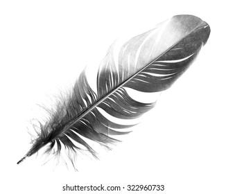 black bird feather isolated on white background