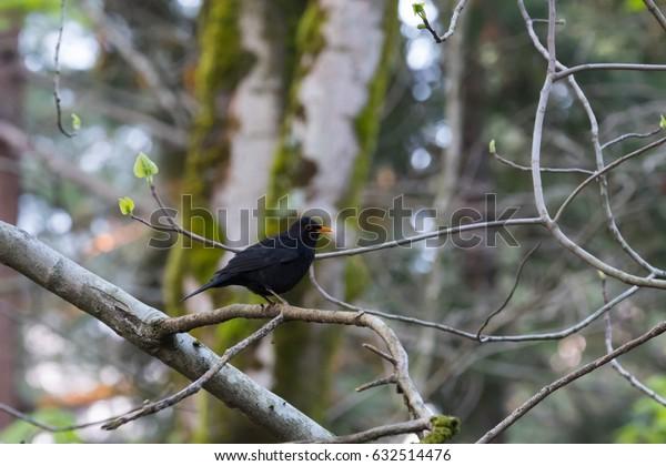 Black bird in the forest