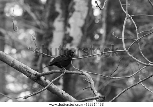 Black bird in the forest - black and white