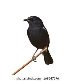 Black bird, A male Pied Bushchat.(Saxicola caprata) on white background