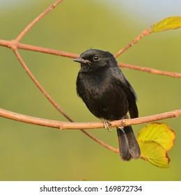 Black bird, A male Pied Bushchat.(Saxicola caprata)