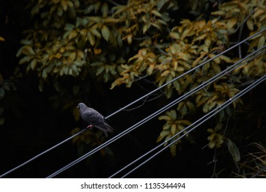 Black bird on electric wire above the tree leaves