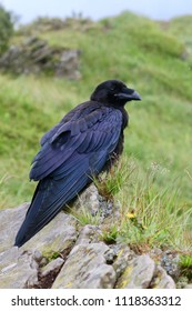 Black bird Raven sitting on the rocks mountains