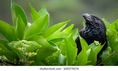 Black bird similar to a crow is posing in profile on the top of a shrub of Green leaves. Out of focus background.