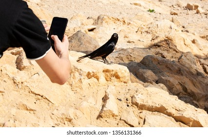 Black bird sits on a stone on Masada mountain and poses for a photo.