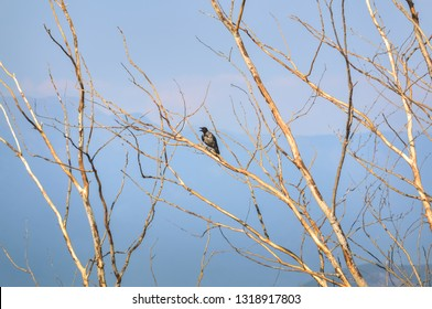 Black bird standing on a bare tree in an autumn day