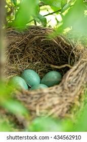 Black birds nest with eggs