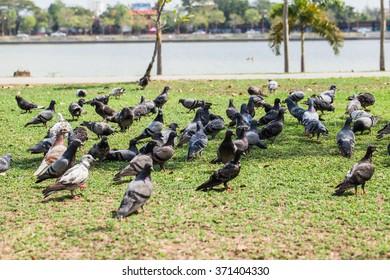Black birds on the lawn.