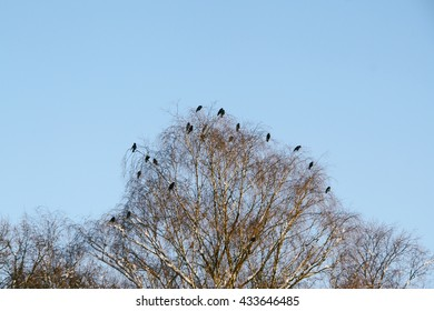 Black birds sitting on top of a leafless tree in winter