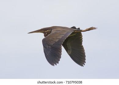 Black Bittern Bird. Bird in flight.