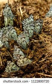 Black and blue Butterflies together on a piece of dry dung in the field