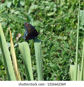 black and blue butterflt with orange spots on yucca plant