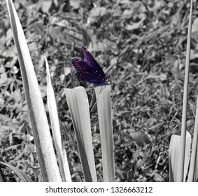 black and blue butterfly with orange spots on yucca plant with black and white background
