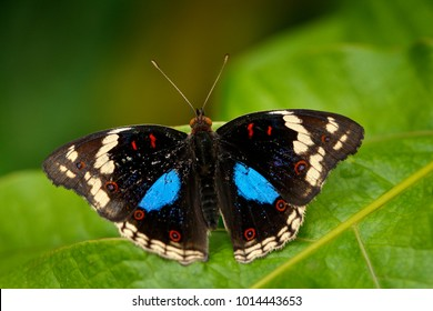 Black and blue butterfly sitting on the green leave in the forest. Beautiful butterfly Blue Pansy, Junonia oenone, insect in the nature habitat, green leave, Uganda, Africa.