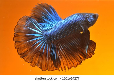 black and blue color cupang or betta fish halfmoon backgraund sunset color