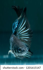 black and blue color cupang or betta fish halfmoon