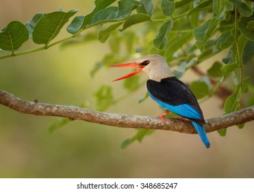 Black and blue Grey-headed Kingfisher Halcyon leucocephala with opened orange beak perched on twig in an african bush under green leaves. Distant blurred background.