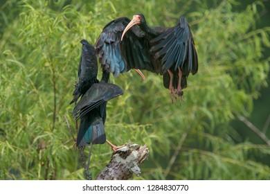 Black and blue heron Garças preta e azul