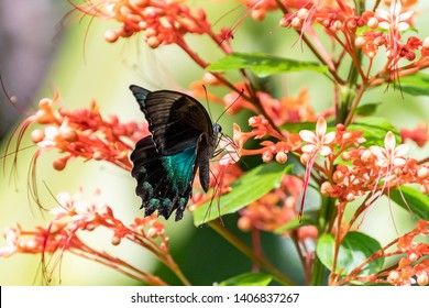 Black and Blue or Teal Butterfly on Orange Flowers - Butterfly and Insect Kingdom in Singapore