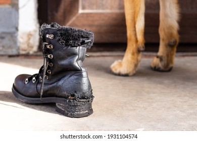 Black boot spoiled and gnawed by a dog with teeth marks and large paws of a German shepherd in the background