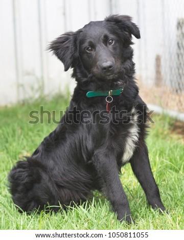 Black Border Collie Cross Labrador Dog Stock Photo Edit Now