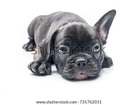 Black Brindle French Bulldog Puppy Crouch Stockfoto Jetzt