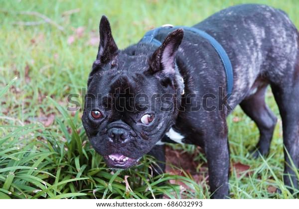 Black Brindle French Bulldogfrench Bulldoga French Stock Photo Edit