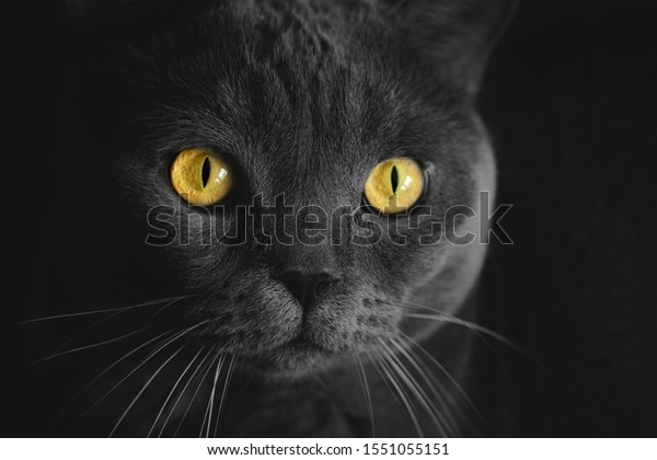 Black British Cat Closeup Yellow Eyes Stock Photo Edit Now
