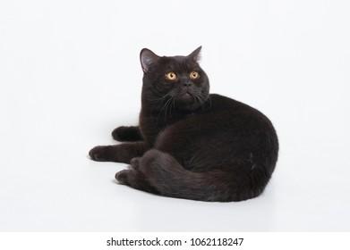 Black british cat isolated on white