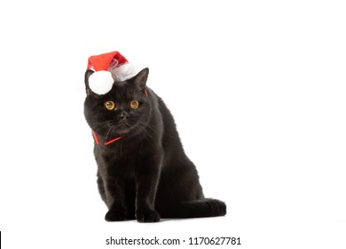 Black British Shorthair Cat In Christmas Hat Isolated On White Background