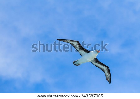 Black Browed Albatross 12 Foot Wingspan Stock Photo Edit Now
