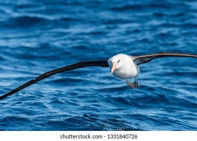 Black Browed albatross, North Island, New Zealand.
