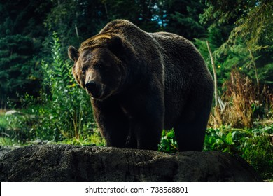 black brown bear in the forest