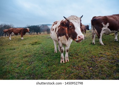 Black and Brown Cows looking at camera. Cow in the field.