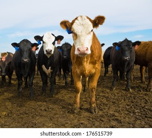 Black and Brown Cows Looking at Camera, Cattle Ranch, Calf, Calves in Summer Pasture