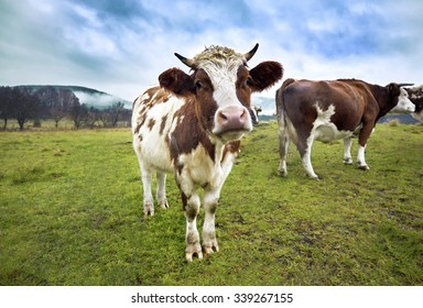 Black and Brown Cows Looking at Camera. Cow in the field. Cows.