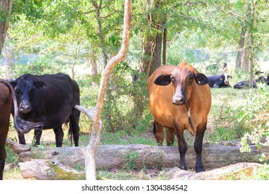 black and brown cows roaming on a ranch with grass and trees