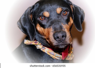 Great Black Chubby Adorable Dog - black-brown-dog-260nw-656531935  2018_488322  .jpg