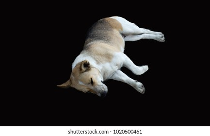 black brown dog isolated on black background, pet sleep concept