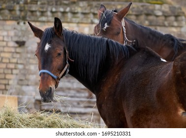 Black and brown horses eating hay.