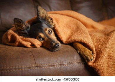Black and brown mix breed dog lying down under orange blanket on leather couch facing camera while looking bored lonely sick sad guilty pampered spoiled at home