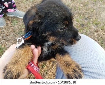 black and brown puppy dog with red or pink leash on green grass
