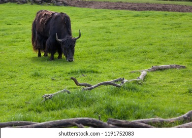 A black and brown Tibetan Yak eating young spring grass in a field.