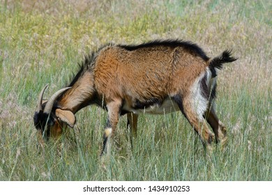 Black brown and white kiko goat with horns grazing on tall wild grass in pasture as part of weed control and wildfire mitigation program
