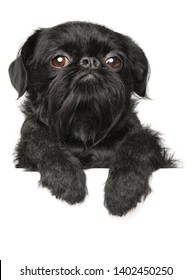 Black Bruxellois Griffon dog above banner, isolated on white background, front view